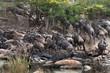 Plötsligt uppstår full panik. Gnuflocken flyr uppför kullen i Grumeti, västra Serengeti. En krokodil har attackerat. .Foto: Jan Fleischmann.