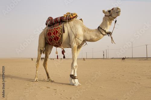 Fotografia, Obraz  White Camel in the kuwait desert