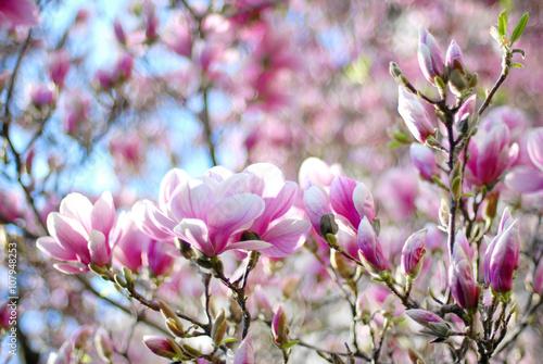 Tuinposter Magnolia Magnolia tree blossom