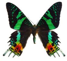 Chrysiridia Rhipheus Butterfly