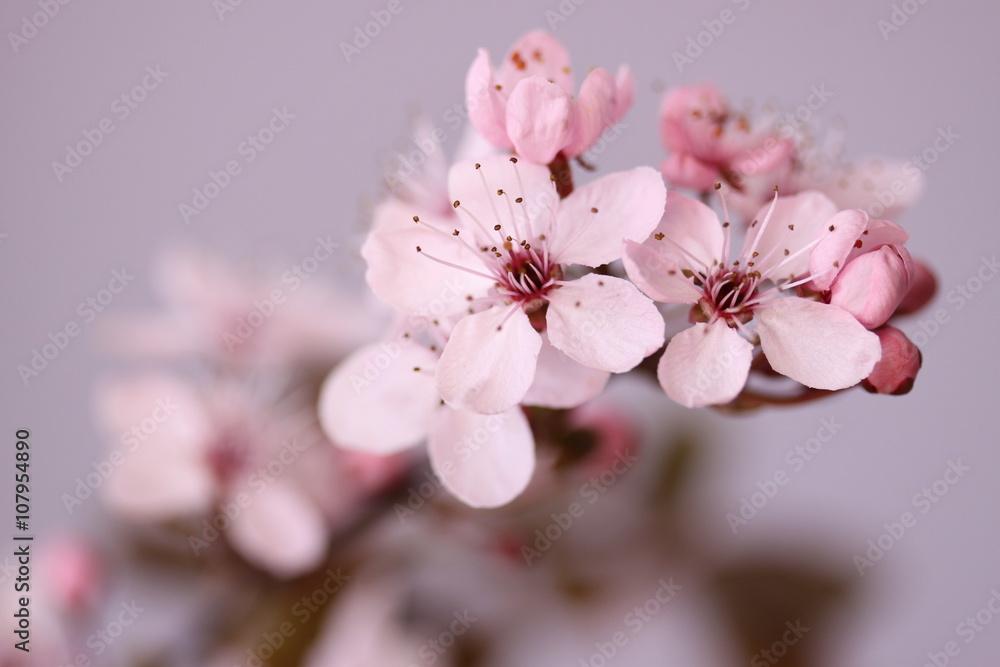 Fototapeta Kwitnący kwiat wiśni - obraz na płótnie