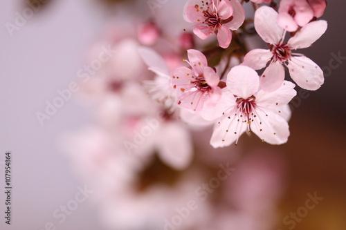 Kwitnący kwiat wiśni - fototapety na wymiar