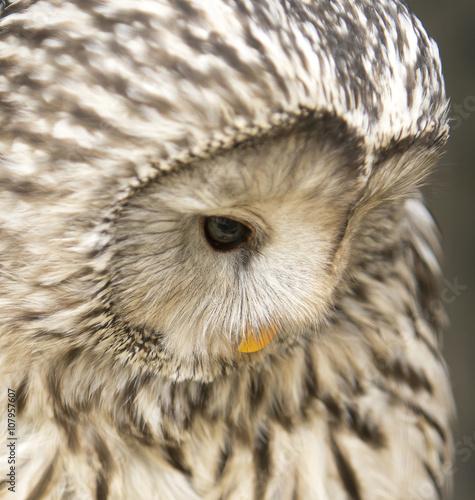 Photo Stands Owl Oeral uil kijkt omlaag
