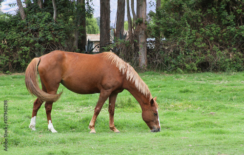 Fotografie, Obraz  Mare Grazing in Pasture