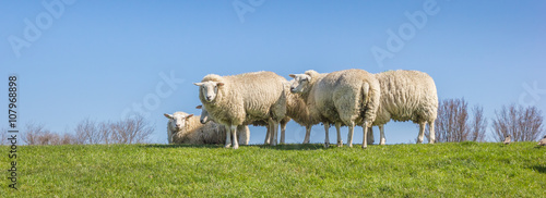 Panorama of sheep on a dike in the Netherlands