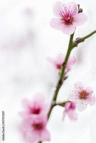 wczesna-wiosna-kwitnace-drzewa-i-nowe-zielone-liscie-brzoskwini