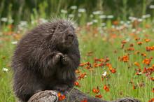 Porcupine (Erethizon Dorsatum) Sits With Paws Up