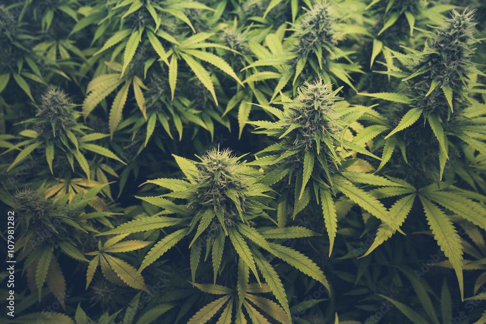 Fotografia Cannabis Bud Marihuana Plants Kup Na Posterspl