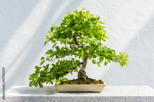 Spoed Foto op Canvas Bonsai Euonymus fortunei Bonsai