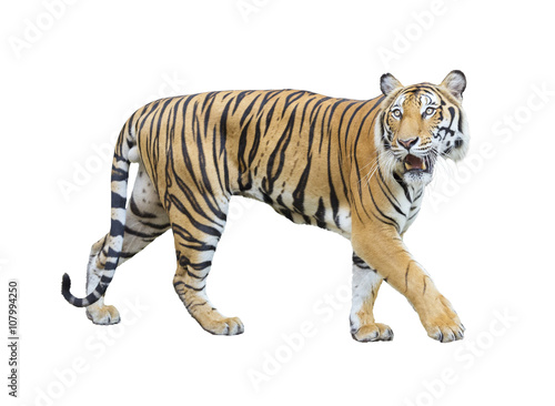 In de dag Tijger tiger isolated on white background with clipping path.