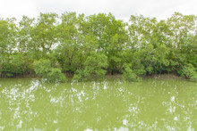 Mangroves In Green Water At Lo...