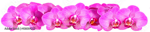 Pink Orchid on white background panorama