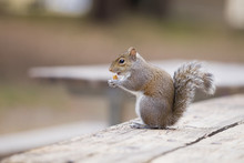 Close-up Of A Small Grey Squirrel Sitting On A Wooden Table In The City Park And Eating.