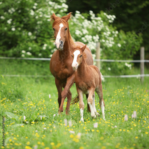 Fotografie, Obraz  Beautiful mare running with foal
