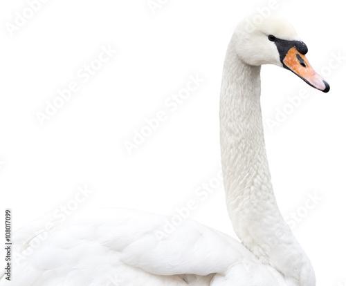 swan on white