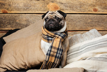 Cute Pug Dog In Checkered Scarf Sitting On Pillows
