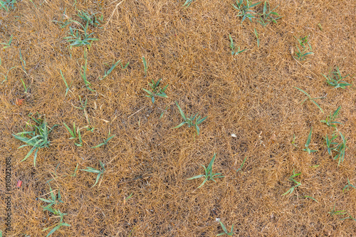Top view of dry grass texture - Buy this stock photo and