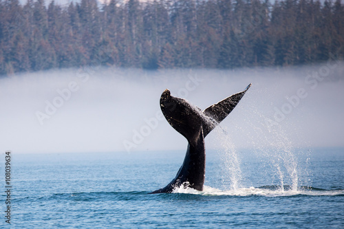 Photo humpback whale diving in alaska at glaicer bay national park