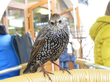 Starling In A Cafe Sitting On ...