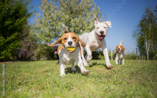 Canvas Print Group of dogs running over the lawn