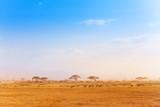 Fototapeta Sawanna - Big zebras herd in the distance of African savanna