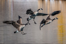Canada Geese Landing On Pond