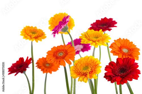 Bunte Blumen - Gerbera - Freisteller