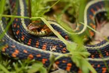 Garter Snake In Grass