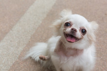 Chihuahua Small Dog Happy Smile