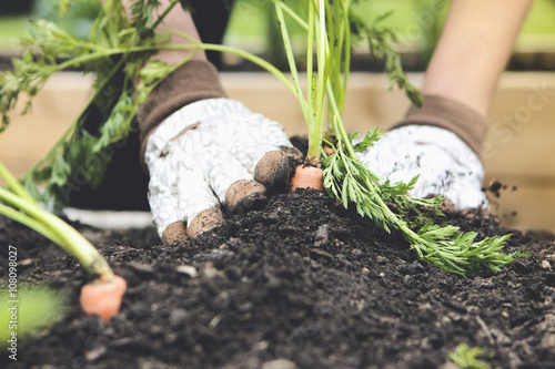 Fotobehang Tuin Close up of woman planting carrot in garden
