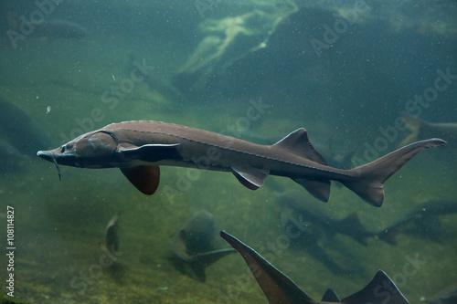 Fototapeta Siberian sturgeon (Acipenser baerii). obraz