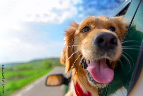 Fotografering Golden Retriever Looking Out Of Car Window