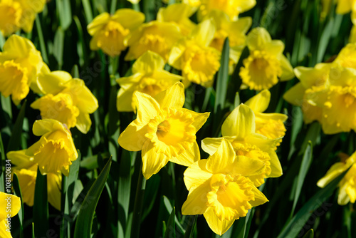 Narcissus pseudonarcissus commonly known as wild daffodil or Lent lily. Here the variety Golden Harvest.
