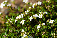 Hornungia Alpina, Also Known As Also Hutchinsia Alpina Or Pritzelago Alpina, Close Up On The White Flowers.
