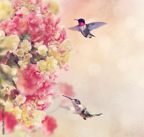 obraz dibond Hummingbirds and Flowers