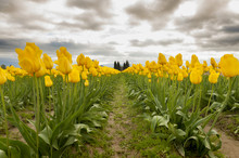 Tulips In The Skagit Valley. A...
