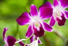 Dendrobium Sonia Orchird Flowe...