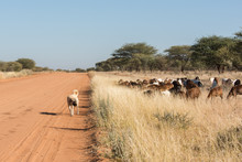 Livestock Guarding Dog With Herd
