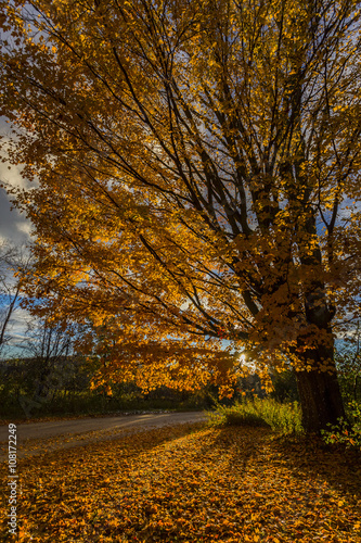Foto op Canvas Herfst golden foliage of sugar maple tree by rural roadside at sunset
