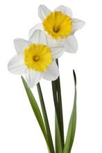 Narcissus, Daffodil, Jonquil I...