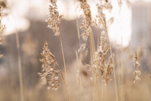 Dry Wild Grass On Meadow In Early Spring, Vintage Toned