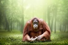 Female Orangutan Alone In The Jungle