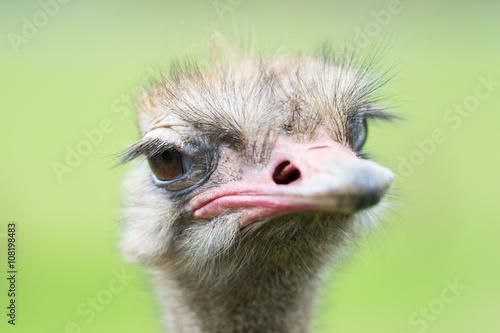 Staande foto Struisvogel Portrait of ostrich (Struthio camelus) in captivity, Spain.