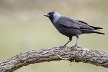 Western Jackdaw (Corvus Monedula) Resting On A Branch In Its Hab
