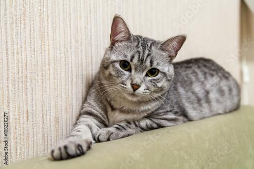Fototapeta The nice gray cat looks around obraz na płótnie