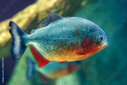 Valokuvatapetti piranha fish close up underwater