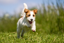 Jack Russell Terrier Dog Outdoors On Grass