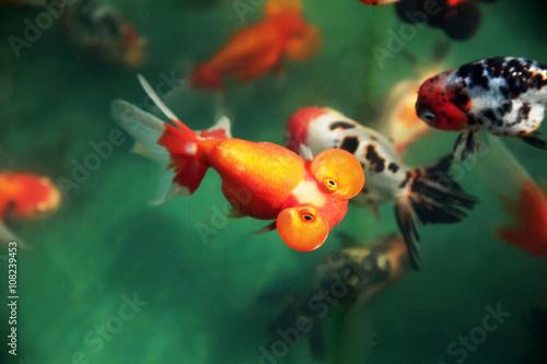 Fotografia, Obraz  金魚