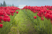 Colorful Tulip Fields. A Sure ...