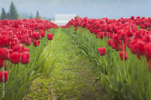 Colorful Tulip Fields. A sure sign of spring is the emergence of the tulip flowers in the Skagit Valley of western Washington state.